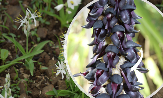 A Blend of Chlorophytum Borivilianum and Velvet Bean Increases Serum Growth Hormone in Exercise-Trained Men