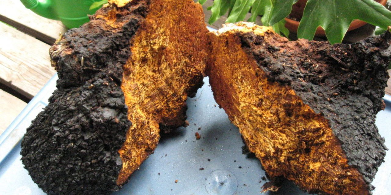 Chaga Medicinal Mushroom Inonotus obliquus (Agaricomycetes) Terpenoids May Interfere with SARS-CoV-2 Spike Protein Recognition of the Host Cell: A Molecular Docking Study