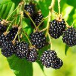 Black Raspberry Seeds